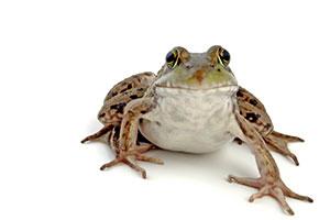 Carolina K. Smith, M.d. :   Древесная лягушка